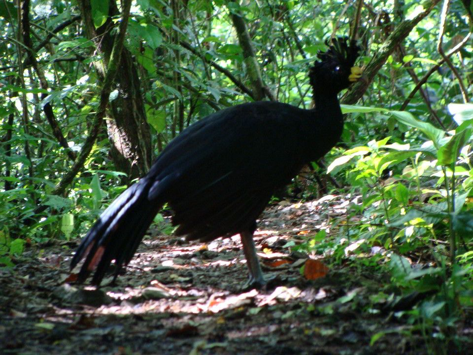 El pavo silvestre costarricense 3