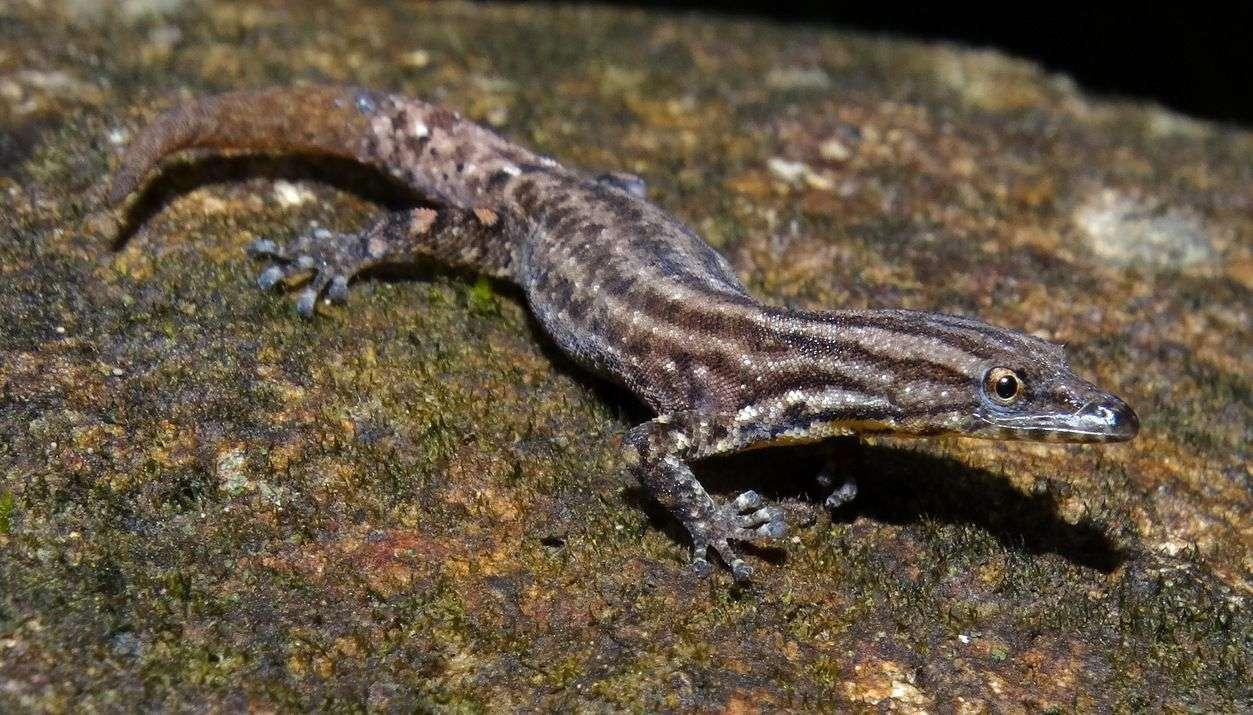 Geckos 4