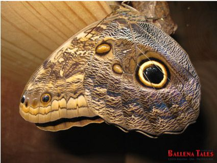 Owl Butterfly at the Butterfly Reserve in Playa Tortuga! 1